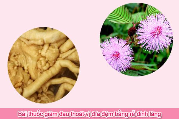 Bài thuốc giảm đau thoát vị đĩa đệm bằng rễ đinh lăng