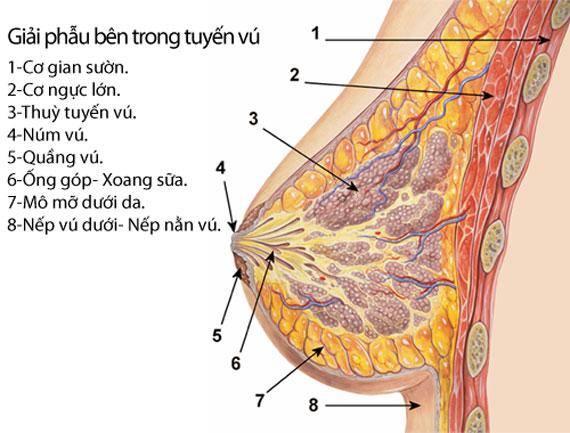 Cấu tạo bộ ngực của phụ nữ